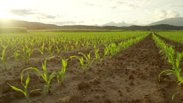SLOW MOTION: Rows of young maize on cornfield at sunset video