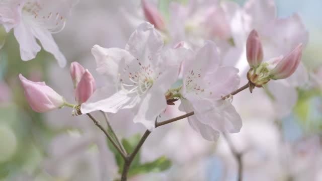 azalea reale fiori, showa memorial park, tokyo, giappone - colore ciliegia video stock e b–roll