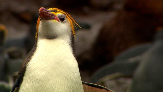 royal penguins hd - уход за поверхностью тела у животных стоковые видео и кадры b-roll