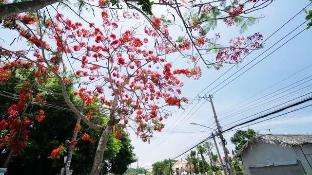 Royal Poinciana trees blooming along  road