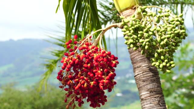 regia roystonea frutta - cespuglio tropicale video stock e b–roll