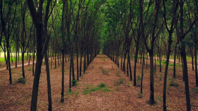 389 Rubber Tree Plantation Stock Videos And Royalty Free Footage Istock