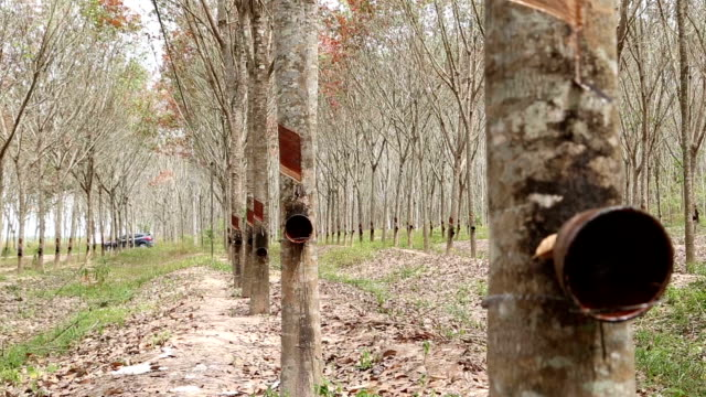 Rubber tree ,india tapping latex video