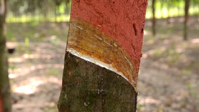 vídeos de stock e filmes b-roll de árvore da borracha - swiss army knife