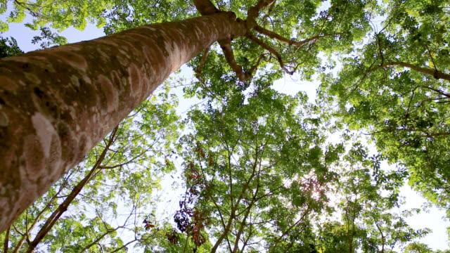 プランテーションのゴムの木、青空に対する緑のゴムの木の冠。 - 未加工点の映像素材/bロール