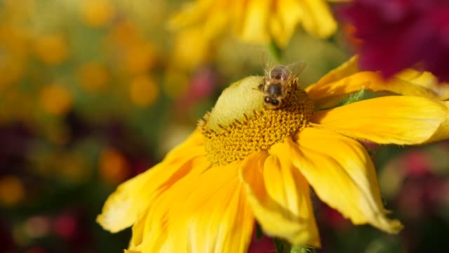 Rudbeckia hirta also known as Irish Spring flower and bee on pistil 4K