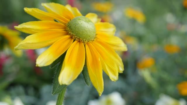 Rudbeckia hirta Irish eyes also known as  Irish Spring flower in the garden 4K