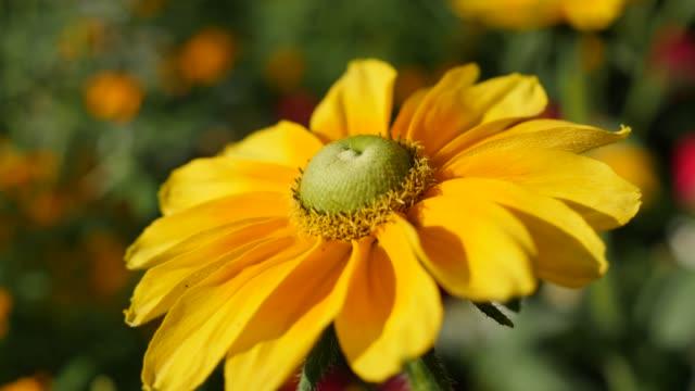 Rudbeckia hirta Irish eyes also known as Irish Spring flower in the garden on the wind 4K