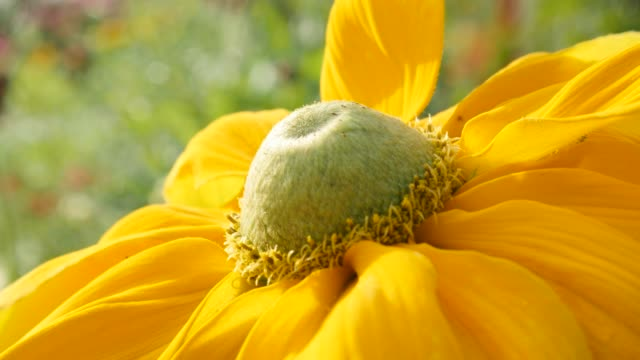 Rudbeckia hirta Irish Spring flower in the garden 4K