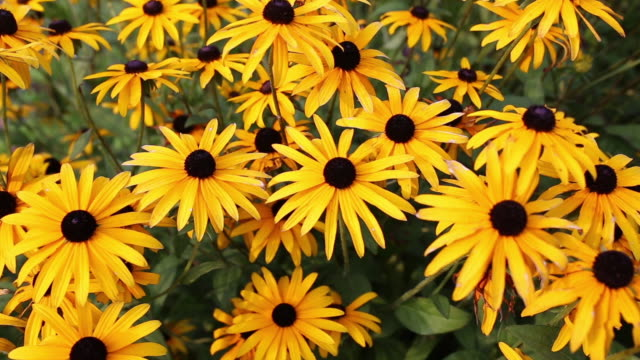 Rudbeckia Hirta Known As Black-Eyed Susan