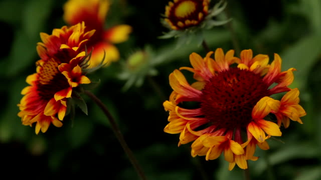 Rudbeckie blooms on the flowerbed / Tracking shot