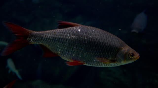 rudd fisch schwimmen unter wasser. fullhd nahaufnahme video - ichthyologie stock-videos und b-roll-filmmaterial
