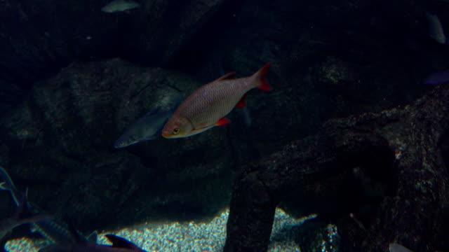 rudd fische schweben unter wasser. fullhd-video - ichthyologie stock-videos und b-roll-filmmaterial