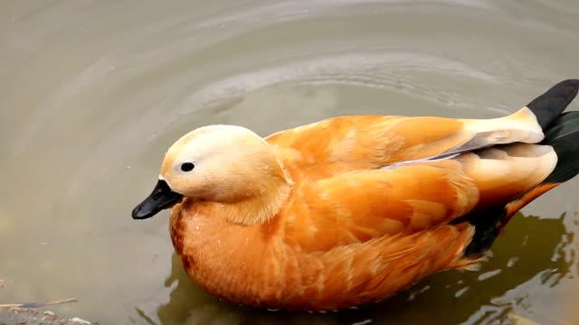 Ruddy shelduck swimming in pond in zoo video