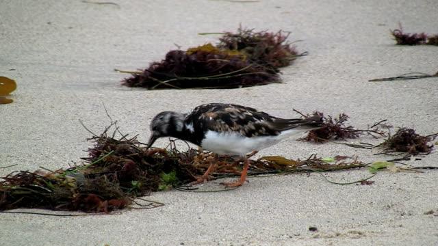 Ruddy Turnstone Feeding On Seaweed video