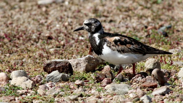 Ruddy turnstone feeds in Chatfield State Park Colorado video