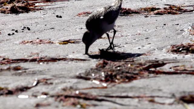 Ruddy turnstone in Grand Canary rocky coast video