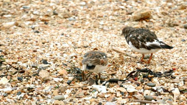 Ruddy Turnstone (Arenaria interpres) waders feeding on a pebbled beach video