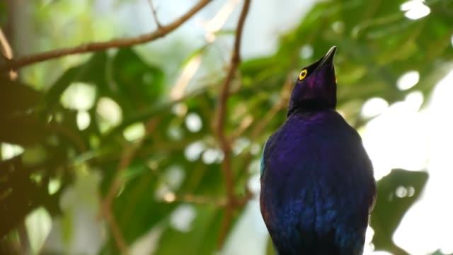 在熱帶雨林中,魯埃佩爾斯星空。異國情調的非洲野鳥在綠色鬱鬱蔥蔥的樹葉。五顏六色的彩虹海軍藍羽毛的 sturnidae 。生動的羽毛。叢林天堂森林中的樹冠。 - 熱帶樹 個影片檔及 b 捲影像