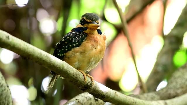 Rufous-collared Kingfisher Bird Beautiful bird, Female of Rufous-collared Kingfisher (Actenoides concretus) perching on a branch at Krung Ching Waterfall, Khao Luang National Park, Thailand. nakhon si thammarat stock videos & royalty-free footage