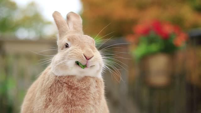 Rufus Rabbit eating parsley at slight angle with warm fall foliage surroundings