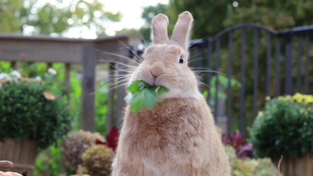 Rufus Rabbit eats parsley surrounded by fall pumpkins funny face at end
