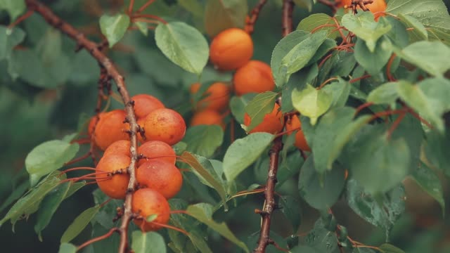 Rugged, juicy, orange, bright, delicious apricots on the branch with water drops in the garden video