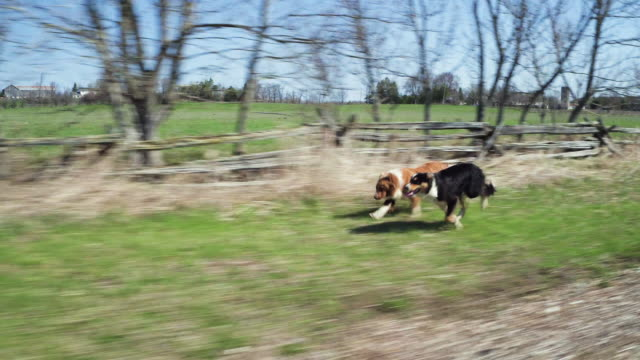 running border collies - border collie video stock e b–roll