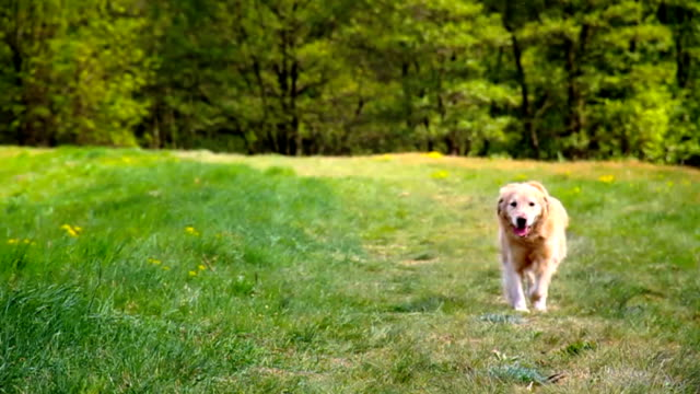 running dog in slowmotion - hund skog bildbanksvideor och videomaterial från bakom kulisserna