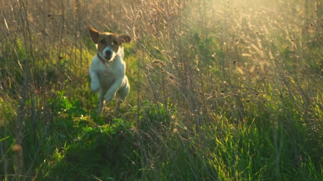running dog of breed jack russell terrier in a field on a clay trail among the grass at sunset of the day. panorama of beautiful blooming nature in summer - terrier video stock e b–roll