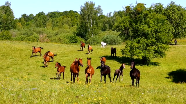 Running horses on the green meadow in summer video