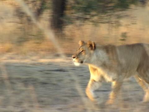 Running Lionne - Vidéo