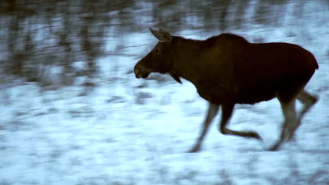 running moose (eurasiatische elk river) - elch stock-videos und b-roll-filmmaterial