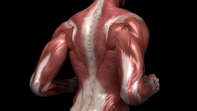 ランニング筋肉の男性に見える筋肉を異なる角度 - 人の筋肉点の映像素材/bロール