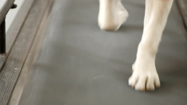 Running paws of golden labrador video