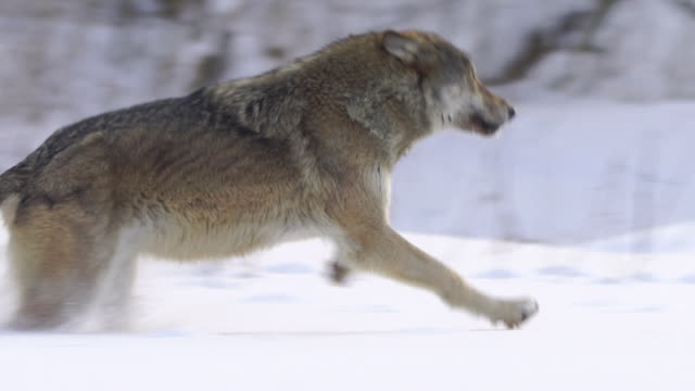 running wolf - lupo video stock e b–roll
