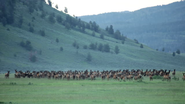 Running wolves hunt elk herd Grand Teton National Park Wyoming video