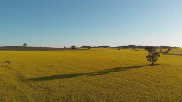 rural australia canola field agriculture farming landscape - aerial drone shot - canola video stock e b–roll