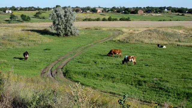 rural landscape, cows - giovenca video stock e b–roll
