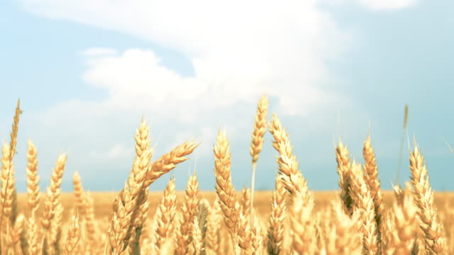 rural landscape yellow field rye wheat blue sky - gospodarstwo ekologiczne filmów i materiałów b-roll