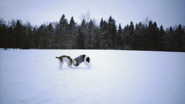 russian greyhound on winter nature video