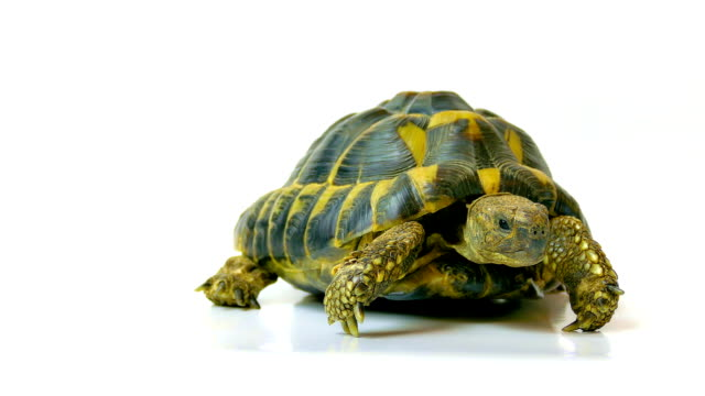 rus kaplumbağa - rus stok videoları ve detay görüntü çekimi