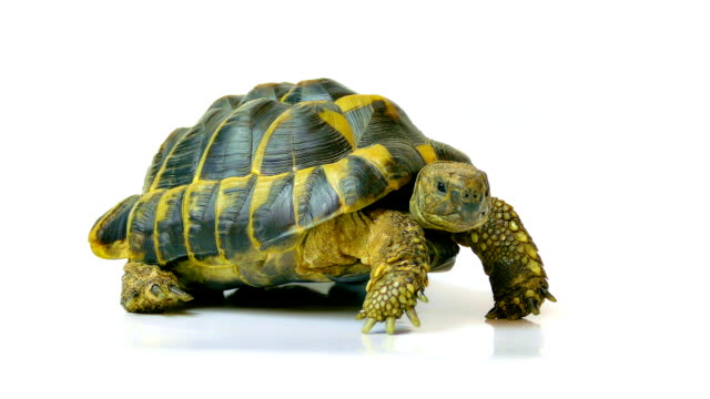 Russian Tortoise Russian tortoise. Studio shot on white background. tortoise stock videos & royalty-free footage