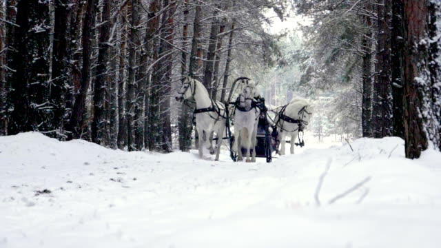 Russian troika three white horses pulling a sleigh in winter forest. Slow motion. HD