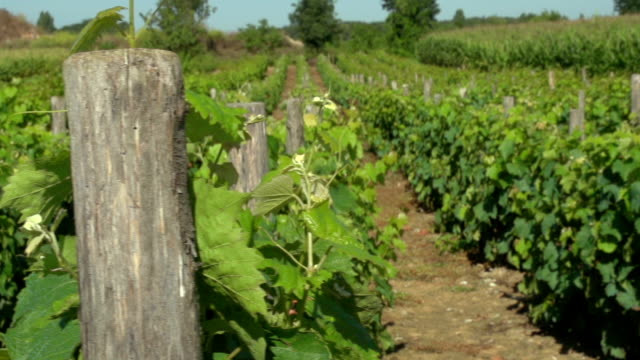 rustic old vineyard deep in the french countryside in the loire valley. - vite flora video stock e b–roll