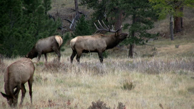 Rutting Bull Elk video