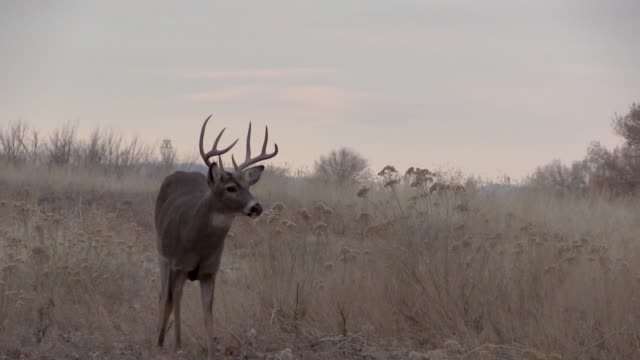 Rutting Whitetail Buck in Autumn video