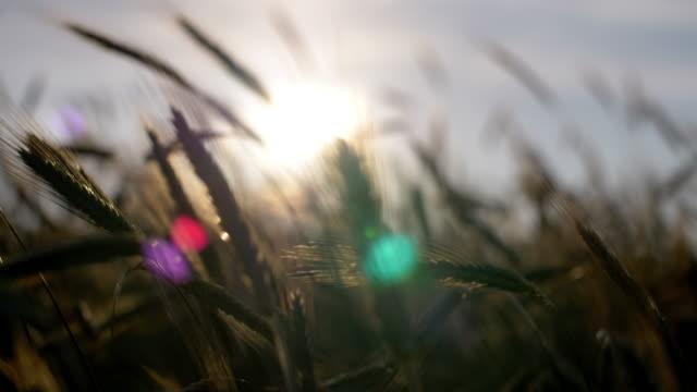 Roggenfeld in der Abendsonne – Video