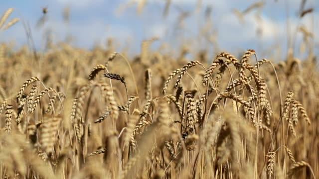 Rye field. video
