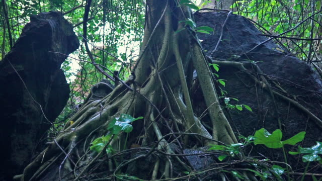 Sacred Banyan tree (Ficus Religiosa) roots in monsoon rain